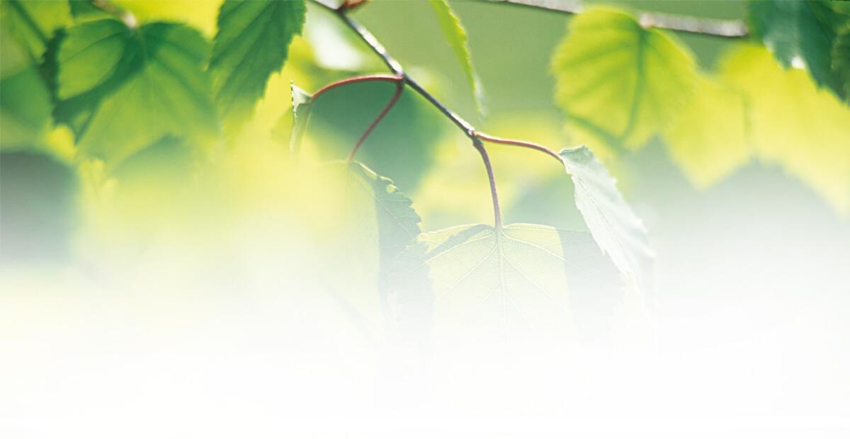 Betula Alba Leaf Extract