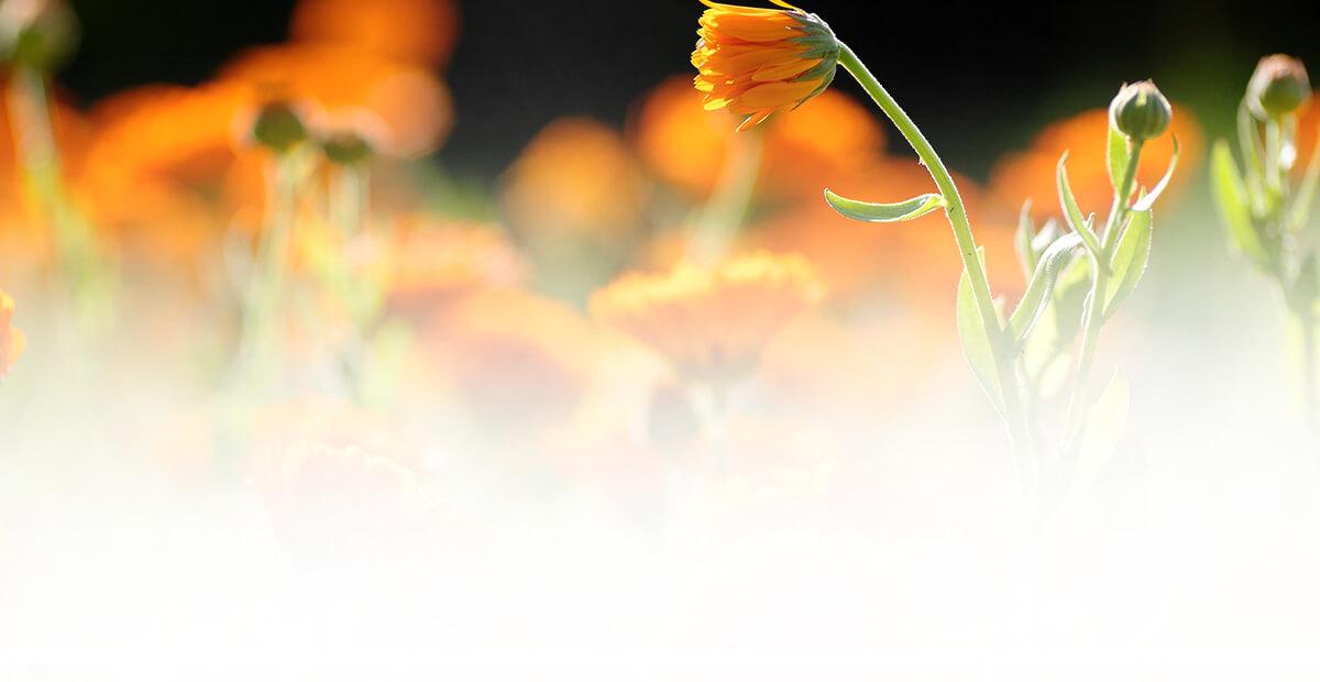 Calendula Officinalis Flower Extract